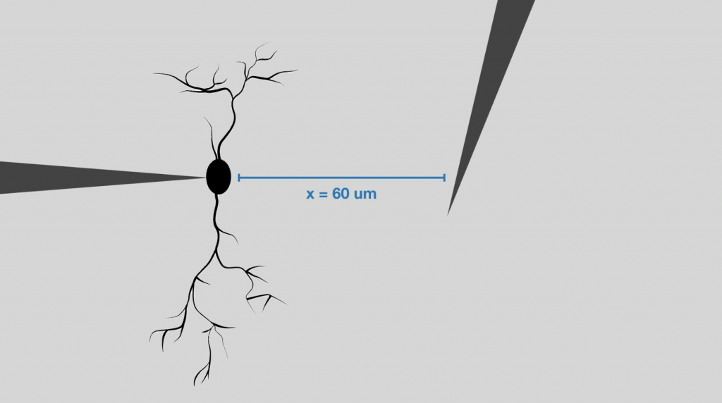 60 microns to measure neurons